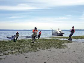 Members of the United States Geological Survey research crew pull in a seine through eelgrass. (Photo by Dave Ayers)